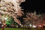 赤坂山公園 桜