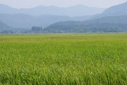 若稲の絨毯.JPG